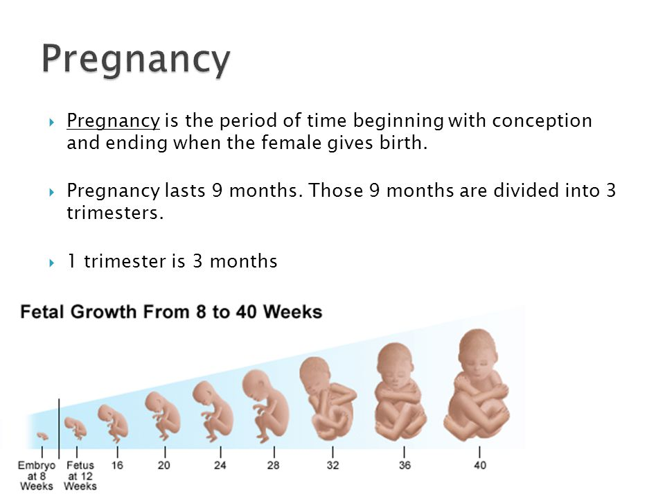  Pregnancy is the period of time beginning with conception and ending when the female gives birth.
