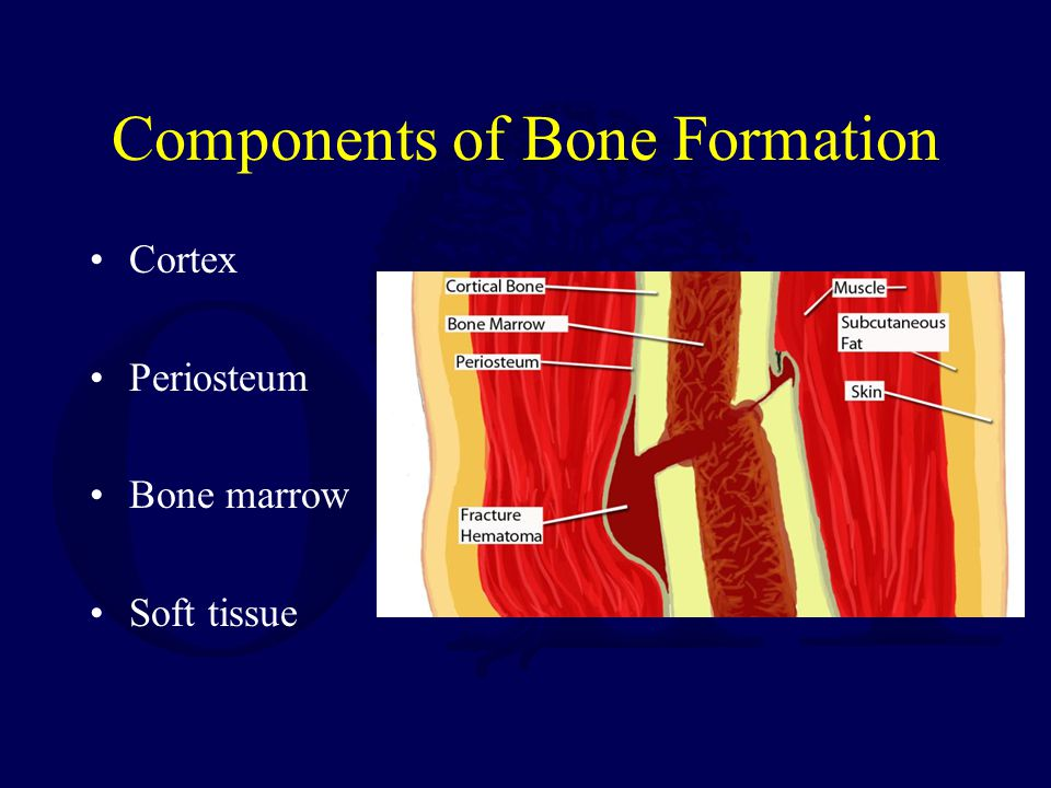 Components of Bone Formation Cortex Periosteum Bone marrow Soft tissue