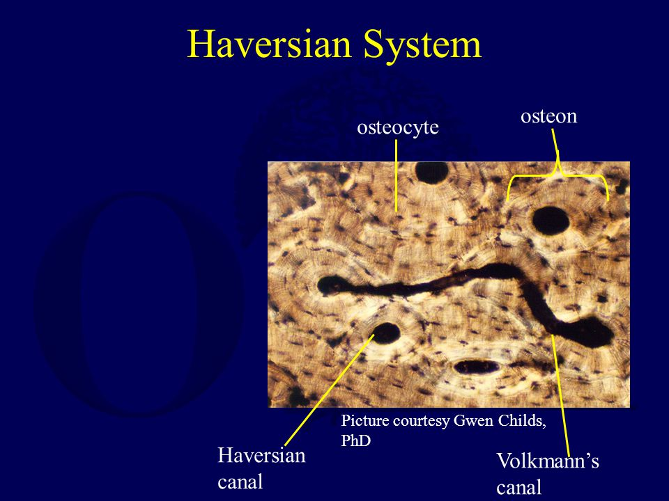 Haversian System Picture courtesy Gwen Childs, PhD osteon Haversian canal osteocyte Volkmann's canal