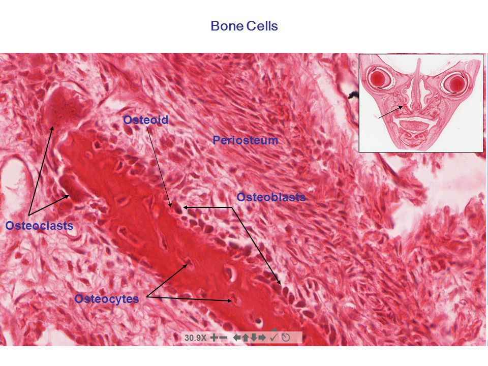 Bone formation and remodeling Learning objectives - 2 Understand how the epiphyseal growth mechanism results in elongation of a long bone.