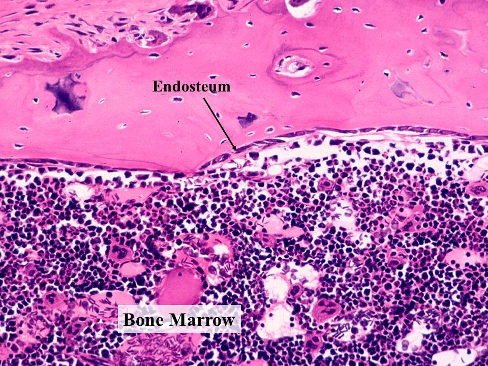 Bone Marrow Endosteum