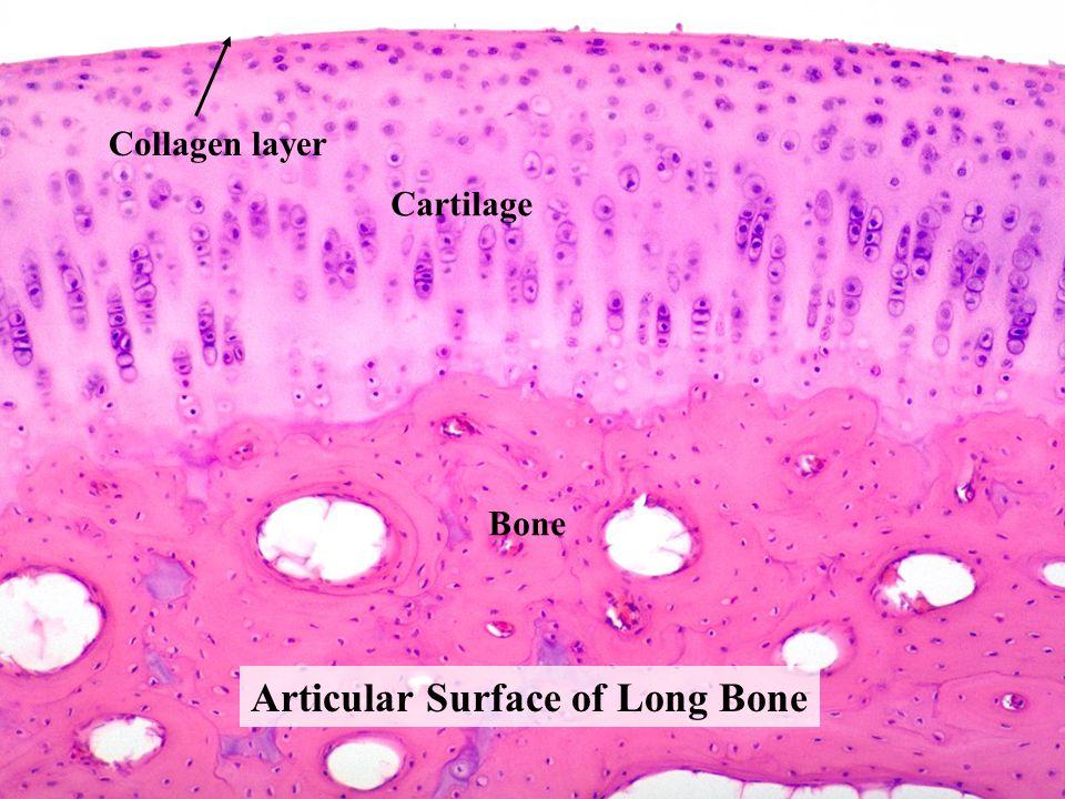 Articular Surface of Long Bone Cartilage Bone Collagen layer