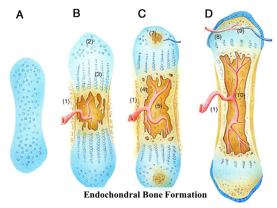 Endochondral Bone Formation