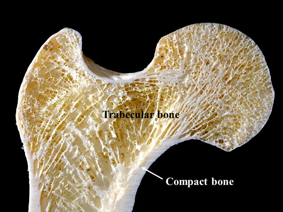 Compact bone Trabecular bone