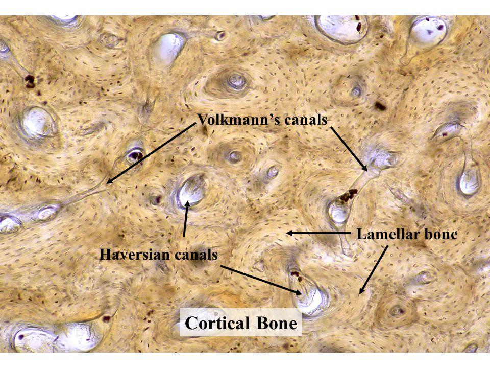 Cortical Bone Volkmann's canals Haversian canals Lamellar bone