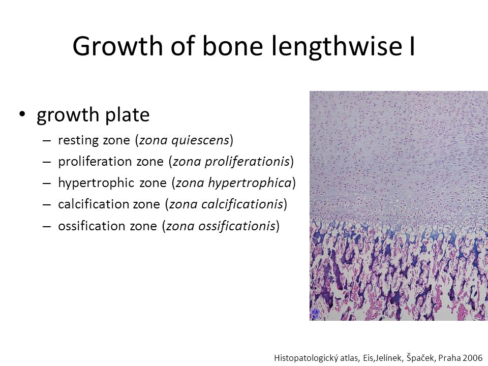Growth of bone lengthwise I growth plate – resting zone (zona quiescens) – proliferation zone (zona proliferationis) – hypertrophic zone (zona hypertr