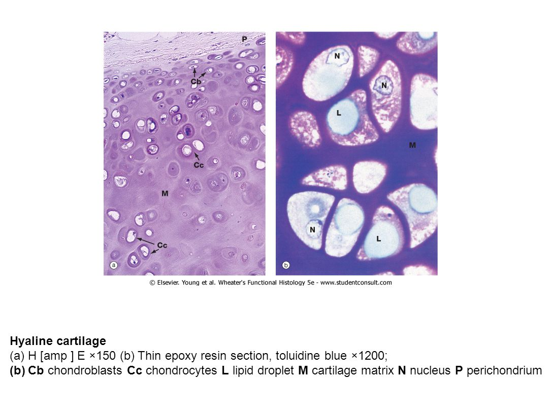 Hyaline cartilage (a)H [amp ] E ×150 (b) Thin epoxy resin section, toluidine blue ×1200; (b)Cb chondroblasts Cc chondrocytes L lipid droplet M cartilage matrix N nucleus P perichondrium
