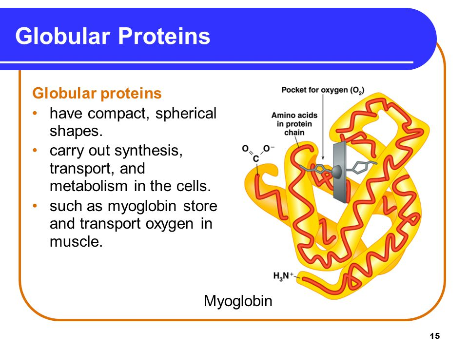 15 Globular Proteins Globular proteins have compact, spherical shapes. carry out synthesis, transport, and metabolism in the cells. such as myoglobin
