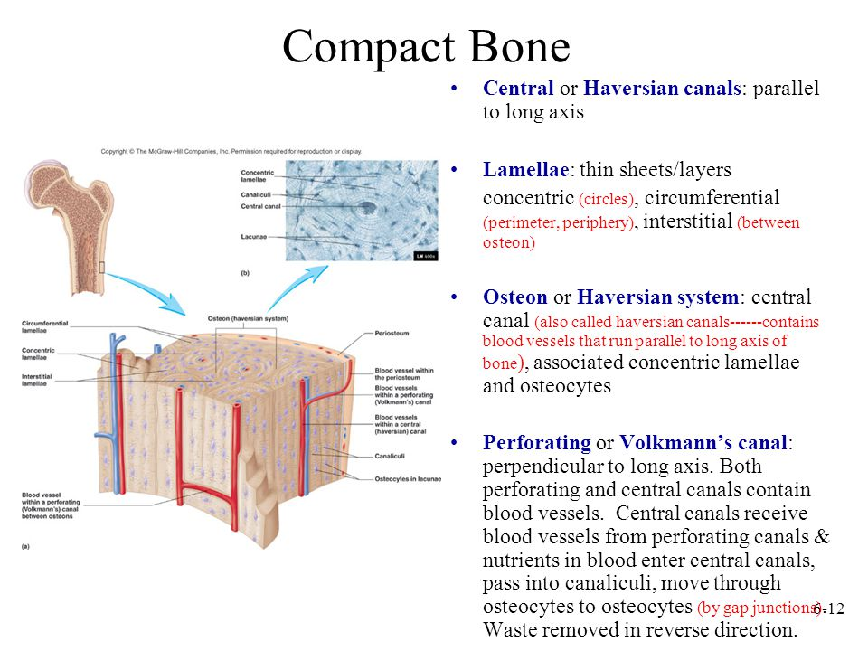6-12 Compact Bone Central or Haversian canals: parallel to long axis Lamellae: thin sheets/layers concentric (circles), circumferential (perimeter, pe