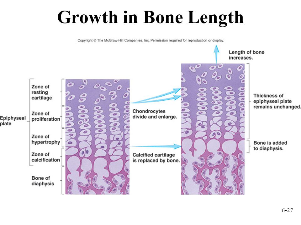 6-27 Growth in Bone Length