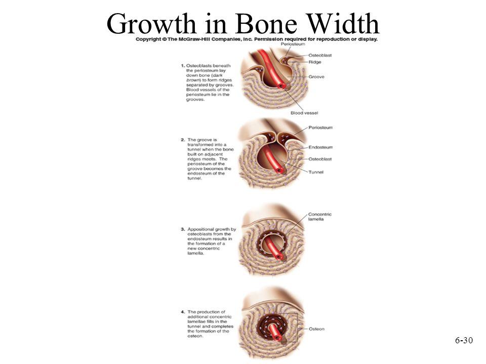 6-30 Growth in Bone Width