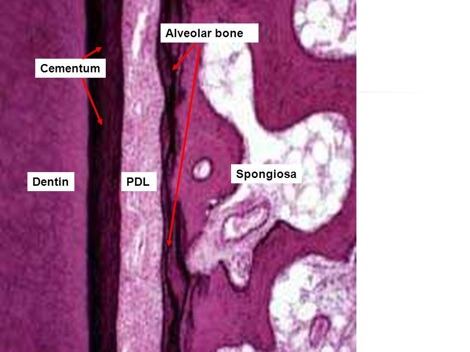 Alveolar bone Spongiosa PDLDentin Cementum