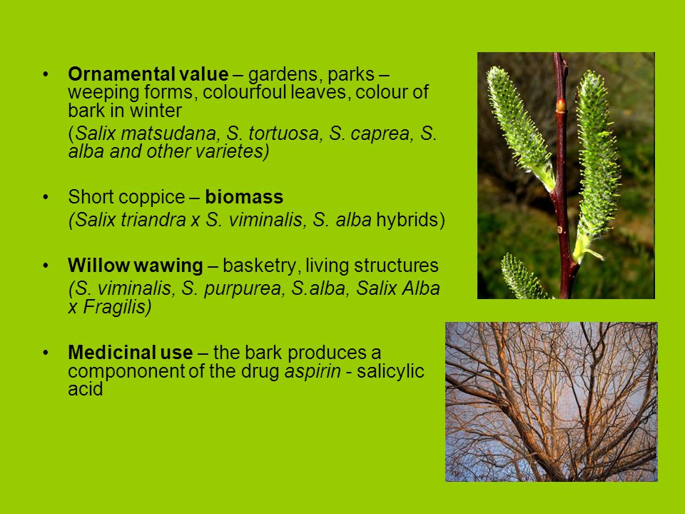 Ornamental value – gardens, parks – weeping forms, colourfoul leaves, colour of bark in winter (Salix matsudana, S.