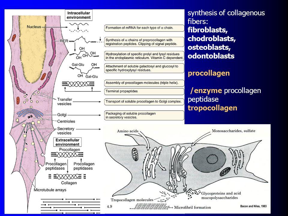 synthesis of collagenous fibers: fibroblasts, chodroblasts, osteoblasts, odontoblasts procollagen /enzyme procollagen peptidase tropocollagen