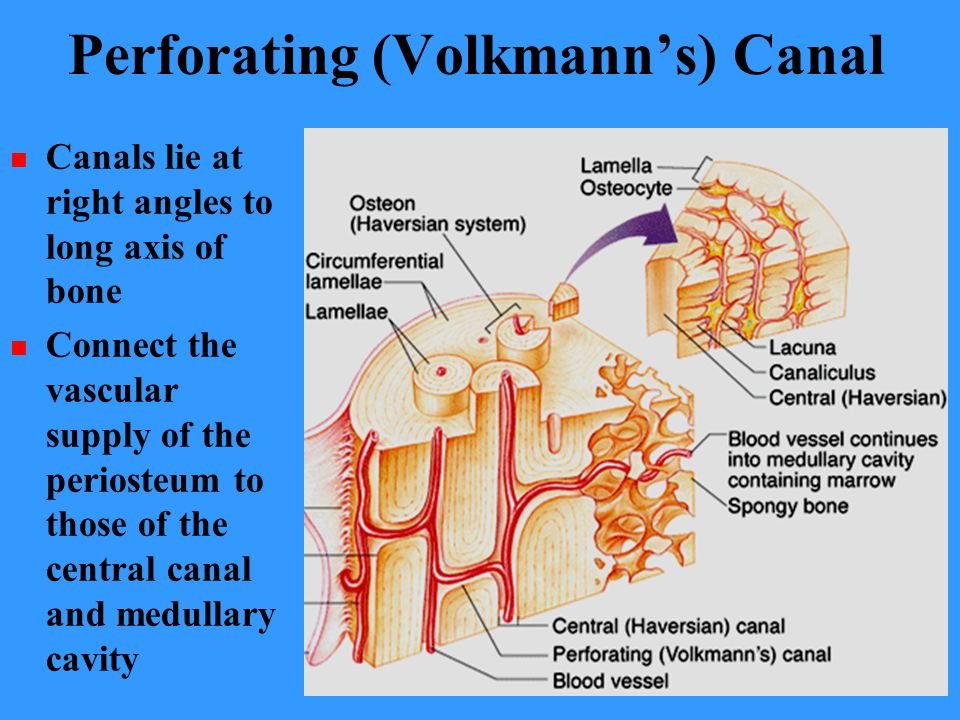 Perforating (Volkmann's) Canal Canals lie at right angles to long axis of bone Connect the vascular supply of the periosteum to those of the central canal and medullary cavity