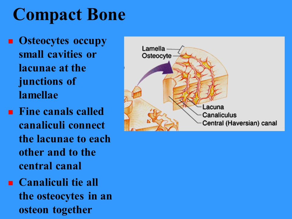 Compact Bone Osteocytes occupy small cavities or lacunae at the junctions of lamellae Fine canals called canaliculi connect the lacunae to each other and to the central canal Canaliculi tie all the osteocytes in an osteon together