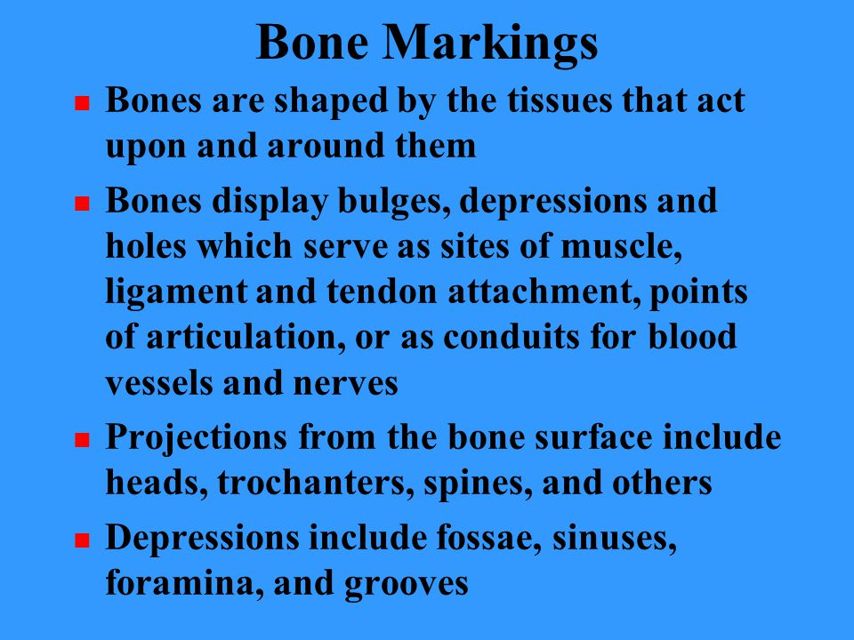 Bone Markings Bones are shaped by the tissues that act upon and around them Bones display bulges, depressions and holes which serve as sites of muscle, ligament and tendon attachment, points of articulation, or as conduits for blood vessels and nerves Projections from the bone surface include heads, trochanters, spines, and others Depressions include fossae, sinuses, foramina, and grooves