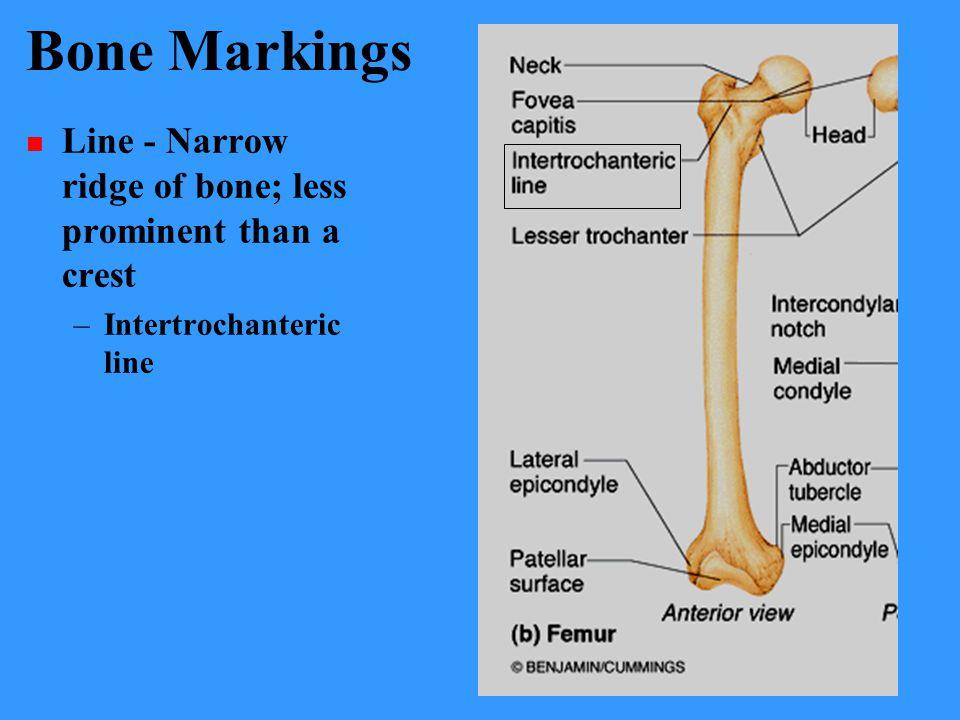 Bone Markings Line - Narrow ridge of bone; less prominent than a crest –Intertrochanteric line