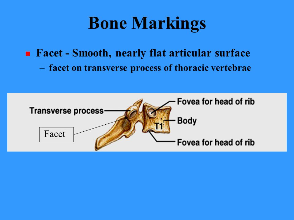 Bone Markings Facet - Smooth, nearly flat articular surface –facet on transverse process of thoracic vertebrae Facet
