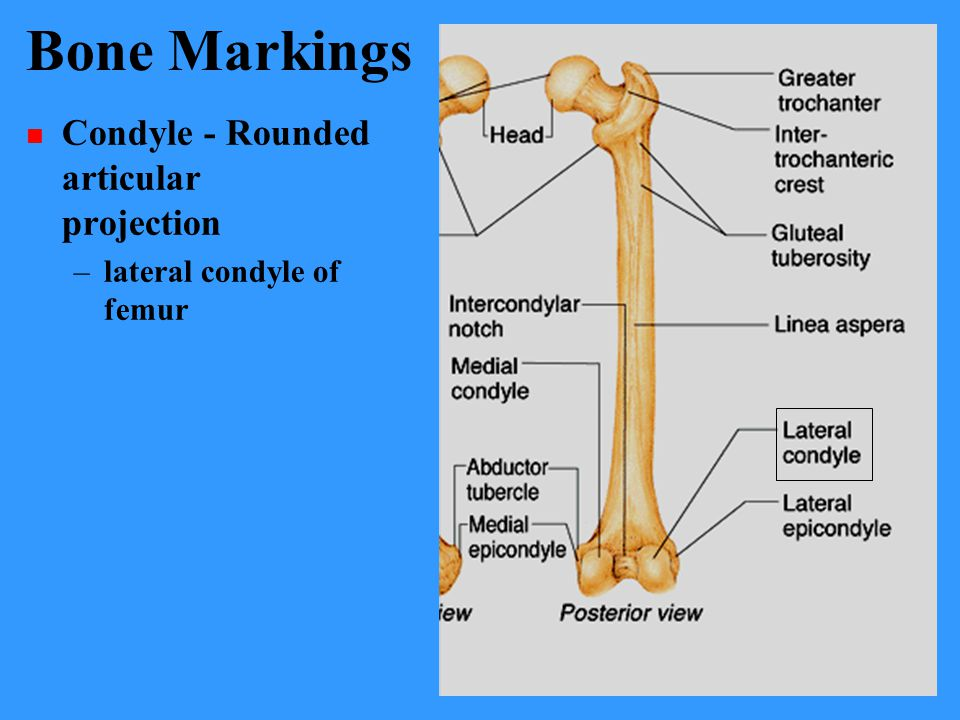 Bone Markings Condyle - Rounded articular projection –lateral condyle of femur