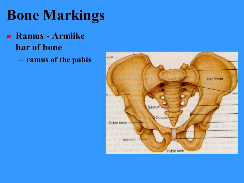 Bone Markings Ramus - Armlike bar of bone –ramus of the pubis