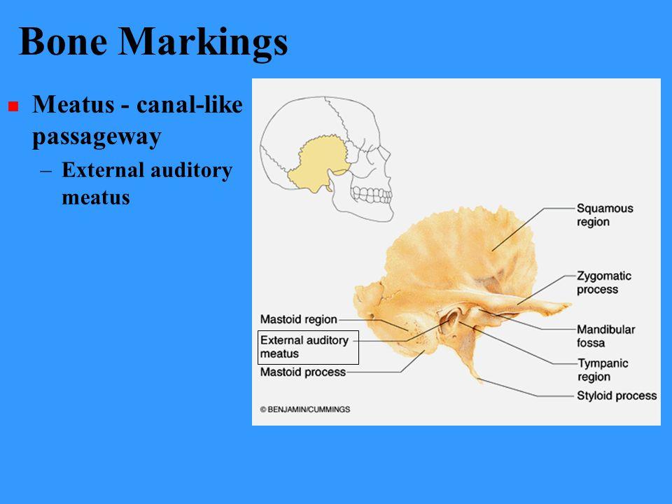 Bone Markings Meatus - canal-like passageway –External auditory meatus