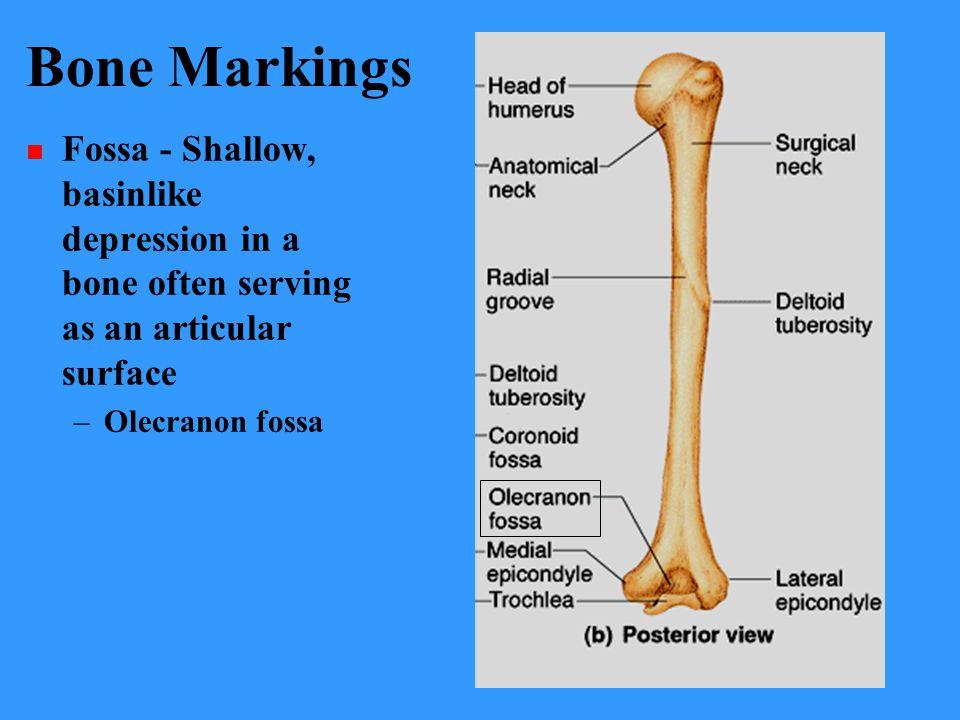 Bone Markings Fossa - Shallow, basinlike depression in a bone often serving as an articular surface –Olecranon fossa
