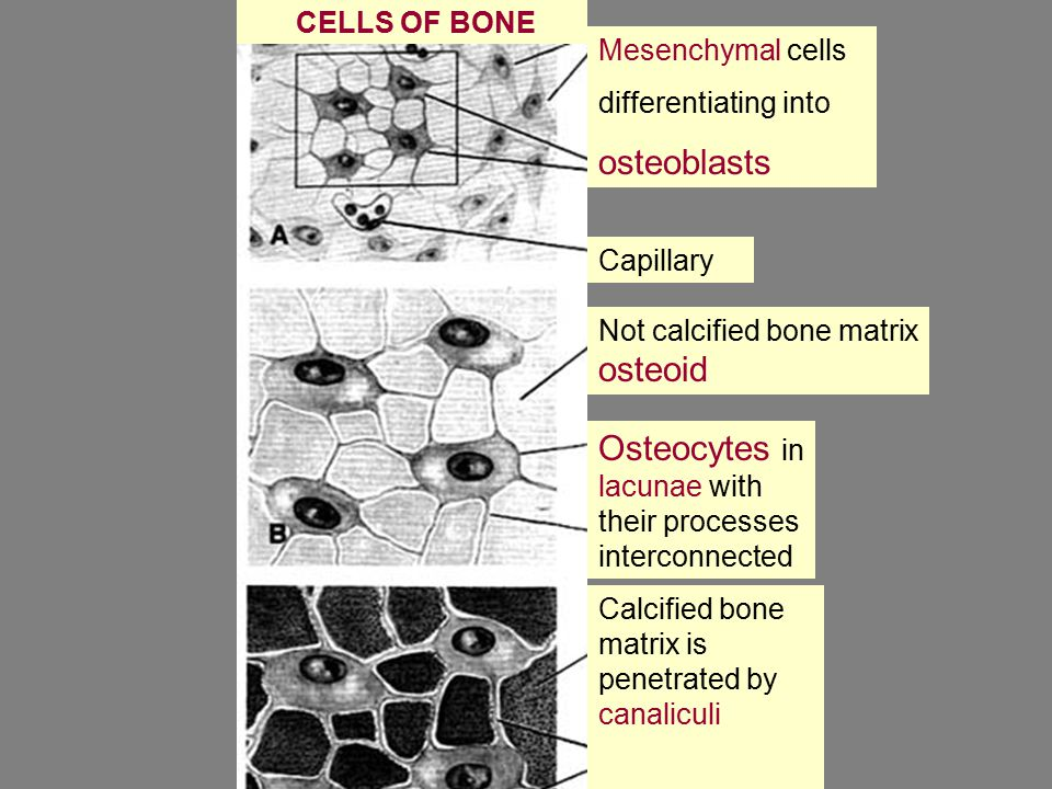 CELLS OF BONE Mesenchymal cells differentiating into osteoblasts Capillary Not calcified bone matrix osteoid Osteocytes in lacunae with their processes interconnected Calcified bone matrix is penetrated by canaliculi