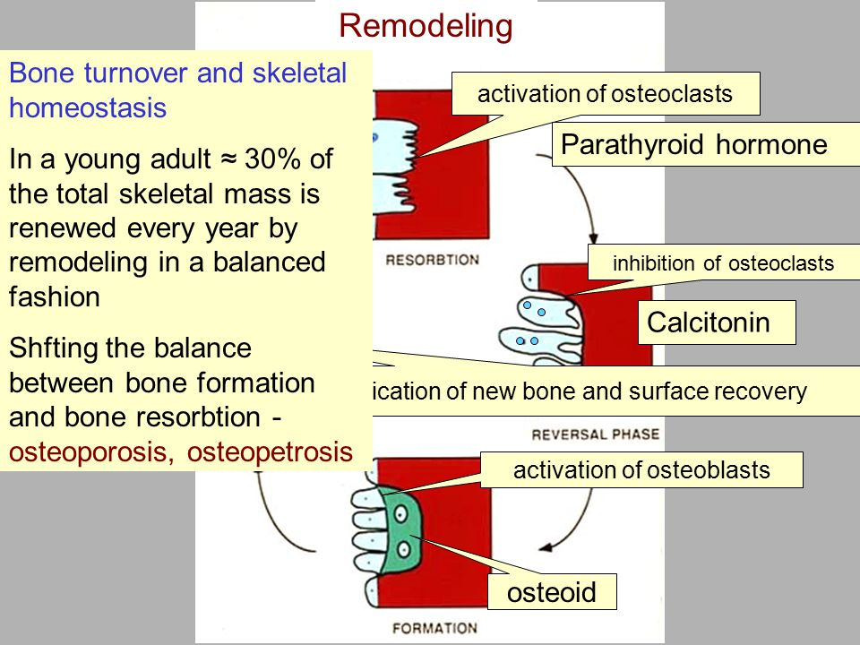 Remodeling activation of osteoclasts Parathyroid hormone inhibition of osteoclasts Calcitonin activation of osteoblasts osteoid Calcification of new bone and surface recovery Bone turnover and skeletal homeostasis In a young adult ≈ 30% of the total skeletal mass is renewed every year by remodeling in a balanced fashion Shfting the balance between bone formation and bone resorbtion - osteoporosis, osteopetrosis