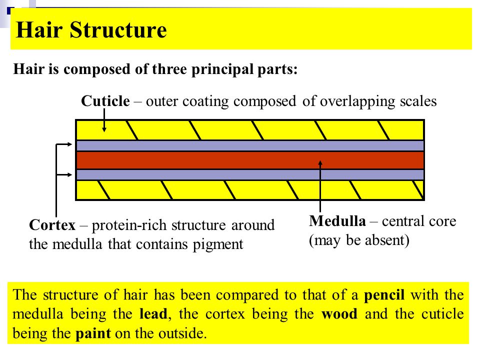 Hair Structure Hair is composed of three principal parts: The structure of hair has been compared to that of a pencil with the medulla being the lead, the cortex being the wood and the cuticle being the paint on the outside.