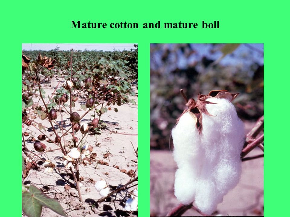 Mature cotton and mature boll