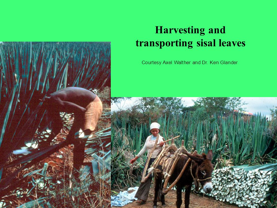 Harvesting and transporting sisal leaves Courtesy Axel Walther and Dr. Ken Glander