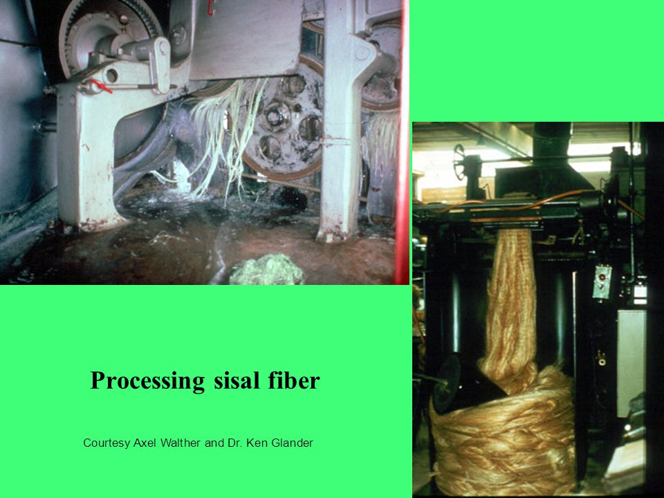 Processing sisal fiber Courtesy Axel Walther and Dr. Ken Glander