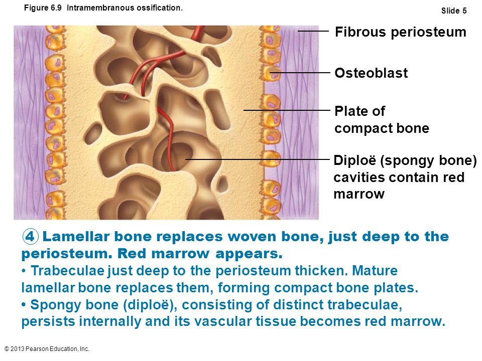 © 2013 Pearson Education, Inc. Figure 6.9 Intramembranous ossification. Fibrous periosteum Osteoblast Plate of compact bone Diploë (spongy bone) cavit
