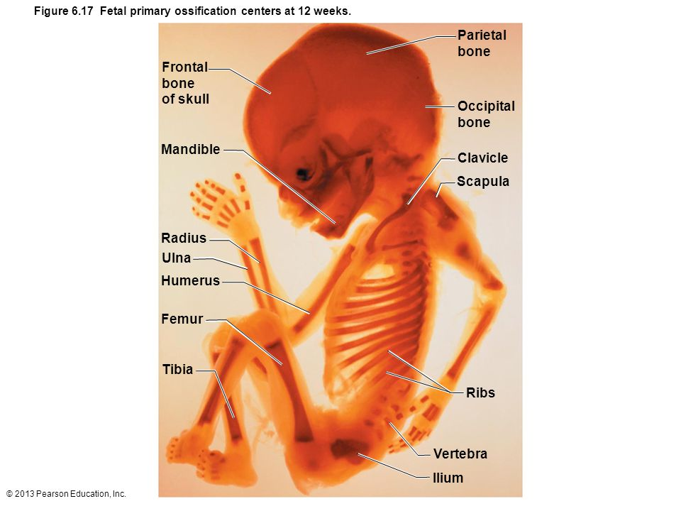 © 2013 Pearson Education, Inc. Figure 6.17 Fetal primary ossification centers at 12 weeks. Parietal bone Occipital bone Clavicle Scapula Ribs Vertebra