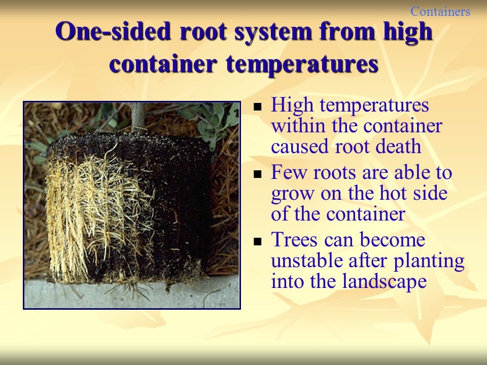 Containers One-sided root system from high container temperatures High temperatures within the container caused root death Few roots are able to grow