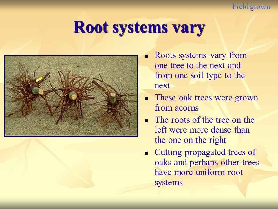 Field grown Root systems vary Roots systems vary from one tree to the next and from one soil type to the next These oak trees were grown from acorns T