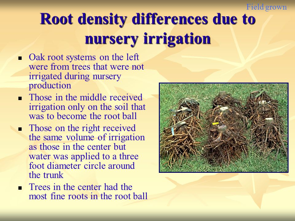Field grown Root density differences due to nursery irrigation Oak root systems on the left were from trees that were not irrigated during nursery pro