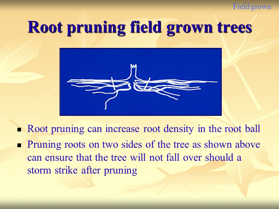 Field grown Root pruning field grown trees Root pruning can increase root density in the root ball Pruning roots on two sides of the tree as shown abo