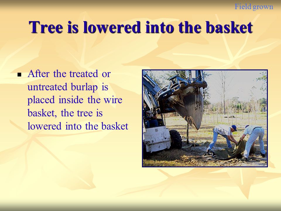 Field grown Tree is lowered into the basket After the treated or untreated burlap is placed inside the wire basket, the tree is lowered into the baske