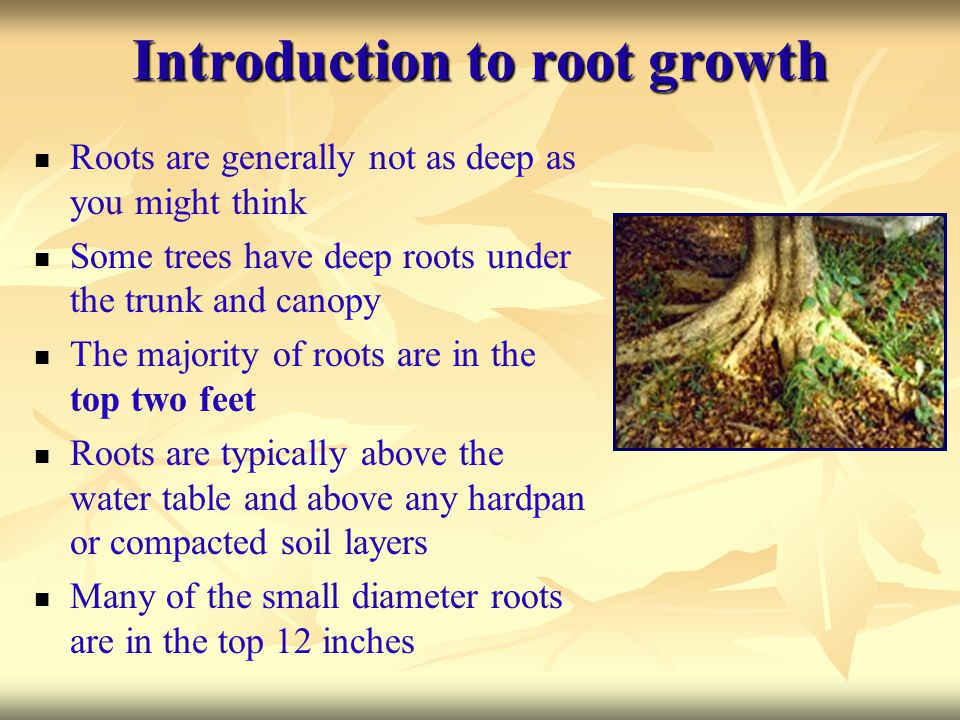 Introduction to root growth Roots are generally not as deep as you might think Some trees have deep roots under the trunk and canopy The majority of r
