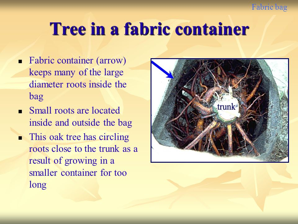 Fabric bag Tree in a fabric container Fabric container (arrow) keeps many of the large diameter roots inside the bag Small roots are located inside an
