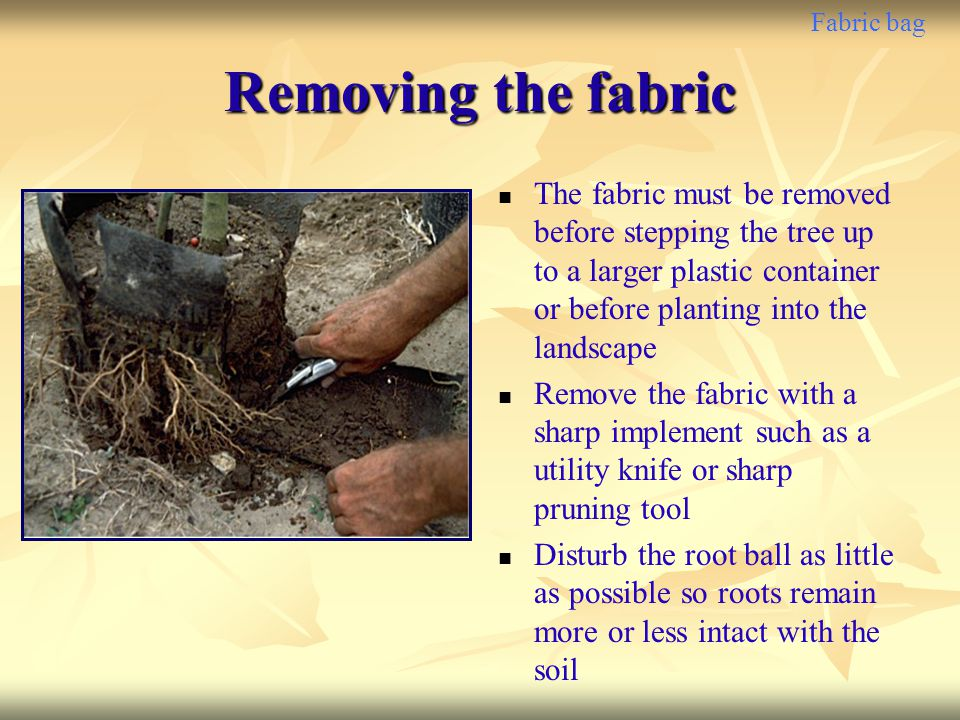 Fabric bag Removing the fabric The fabric must be removed before stepping the tree up to a larger plastic container or before planting into the landsc
