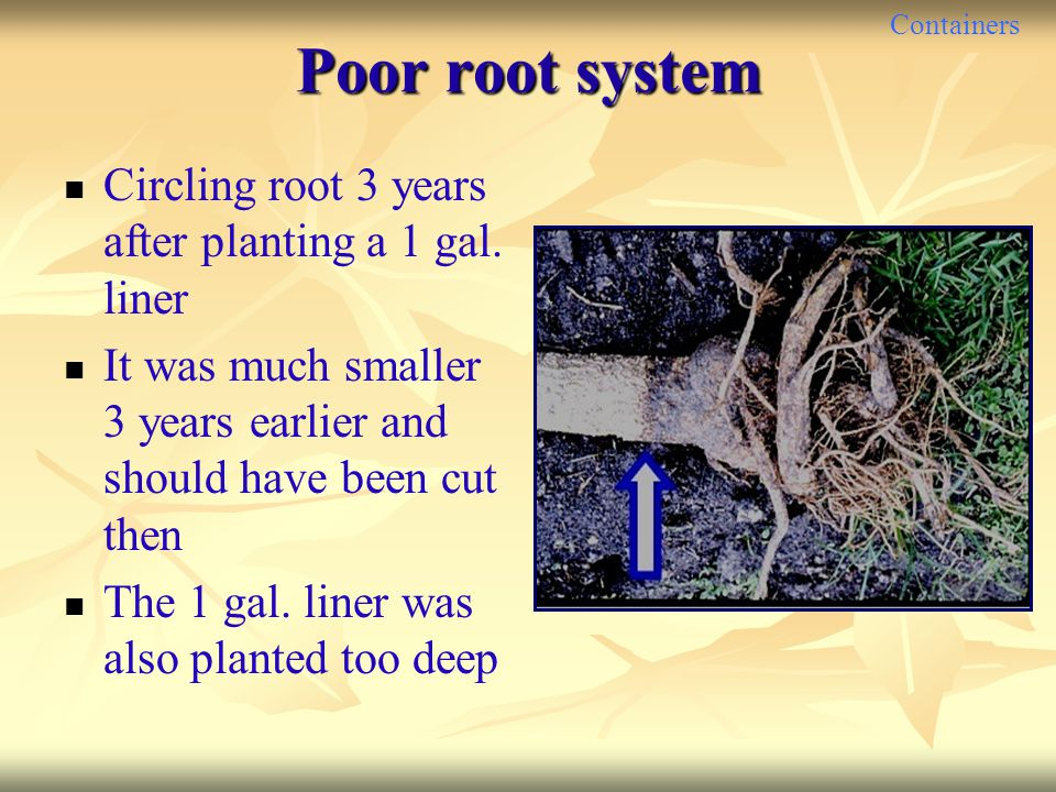 Containers Poor root system Circling root 3 years after planting a 1 gal. liner It was much smaller 3 years earlier and should have been cut then The