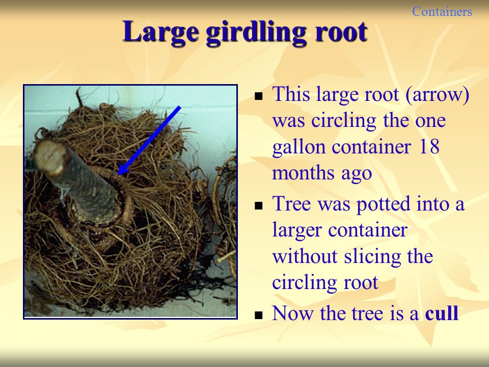 Containers Large girdling root This large root (arrow) was circling the one gallon container 18 months ago Tree was potted into a larger container wit