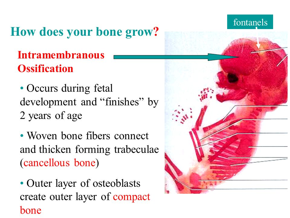 Intramembranous Ossification Occurs during fetal development and finishes by 2 years of age Woven bone fibers connect and thicken forming trabeculae (cancellous bone) Outer layer of osteoblasts create outer layer of compact bone fontanels How does your bone grow
