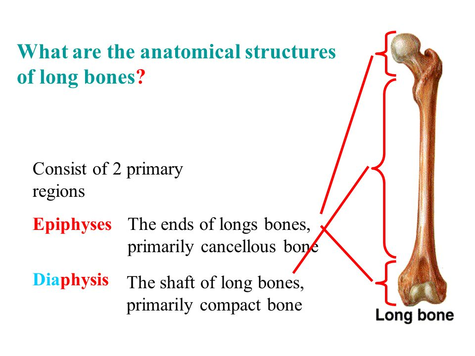 Consist of 2 primary regions Epiphyses Diaphysis The ends of longs bones, primarily cancellous bone The shaft of long bones, primarily compact bone What are the anatomical structures of long bones