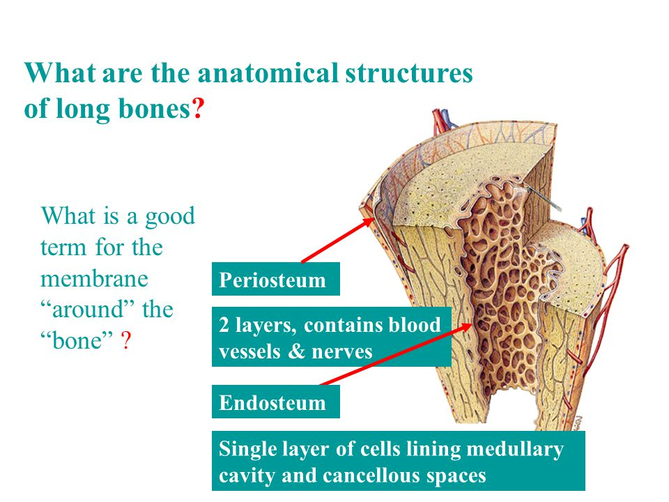 What is a good term for the membrane around the bone .