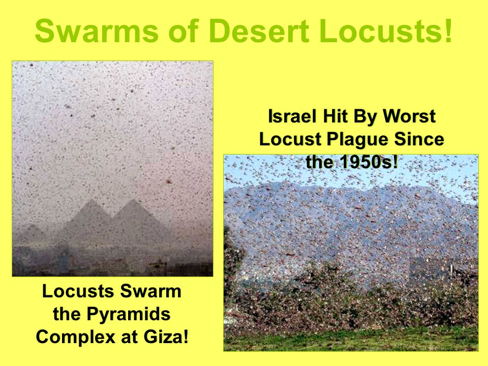 Swarms of Desert Locusts. Locusts Swarm the Pyramids Complex at Giza.