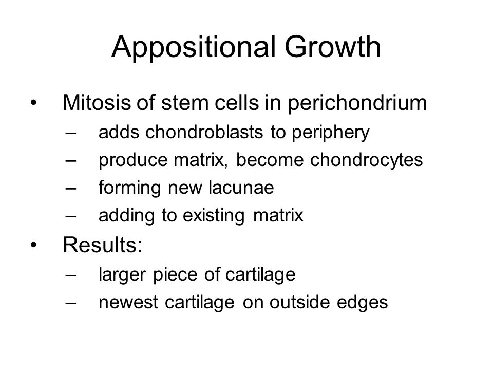 Appositional Growth Mitosis of stem cells in perichondrium –adds chondroblasts to periphery –produce matrix, become chondrocytes –forming new lacunae